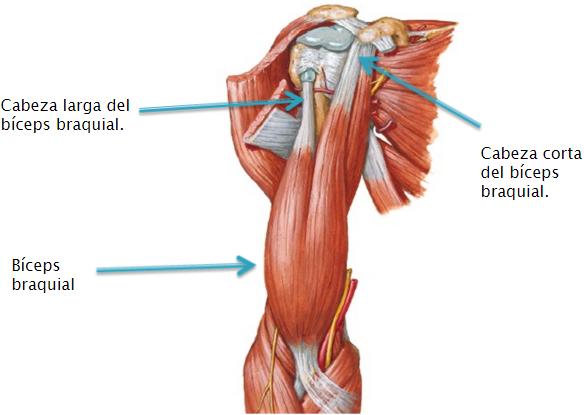 Tendinitis y roturas, lesiones más habituales en el bíceps proximal